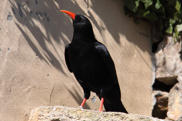 Cornish Chough 599x399