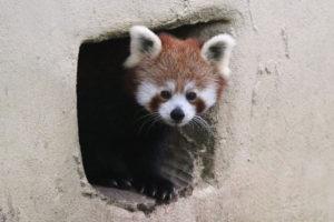 red-panda-cub