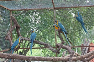 Macaws settling into their new enclosure in Bolivia