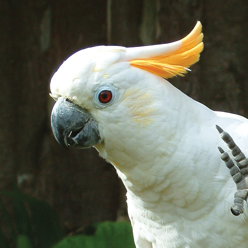 Citron Cockatoo 75