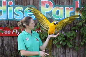 Free Flying Bird Show Paradise Park Cornwall