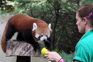 Red Panda Training