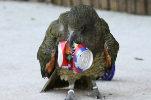 Kea Parrot recycling