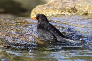 Blackbird bathing