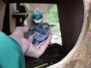 chough-chick-being-monitored-and-weighed