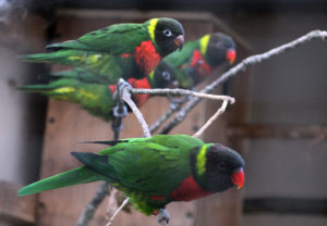 Mitchell's Lorikeets - Family at Paradise Park