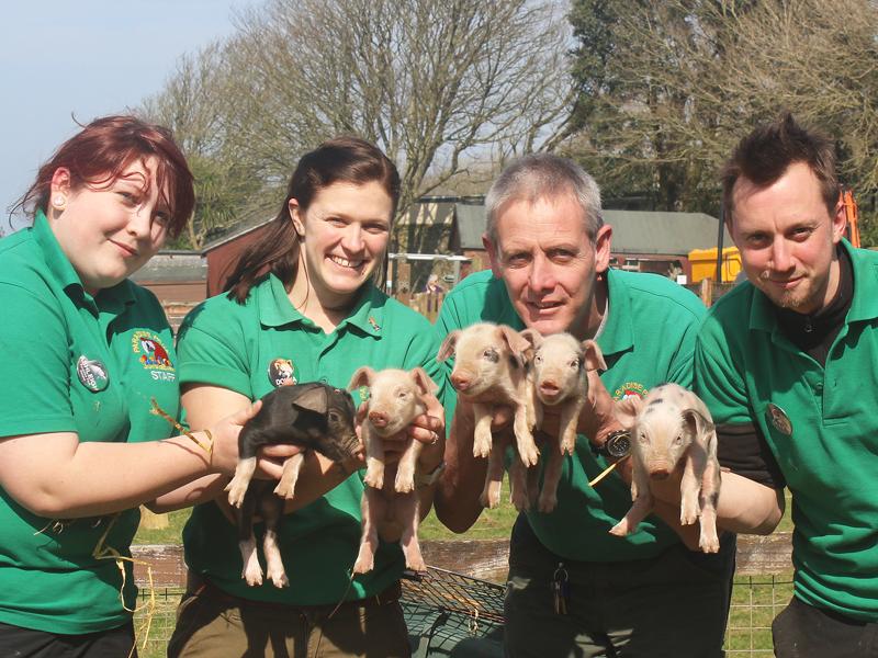Staff present Cute piglets