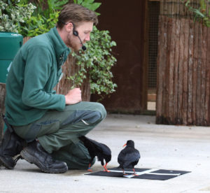 Chough trained to fly to Cornish Flag