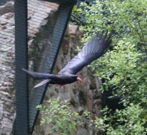Cornish Chough flying