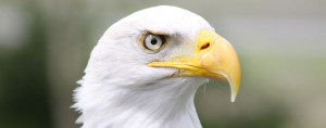 Archie the Bald Eagle