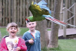 Free Flying Bird Show Paradise Park Hayle Cornwall