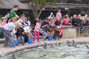 Penguin Feeding Paradise Park Hayle Cornwall