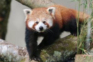 Red Panda cub from 2015