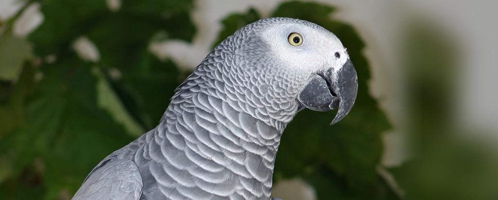African Grey Parrot Paradise Park