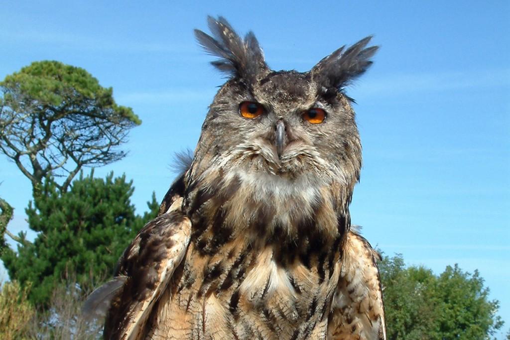 Bruno the Eagle Owl