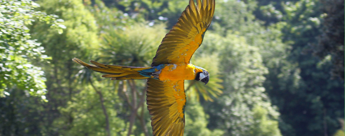 Amazon Rainforest Birds | The endangered Blue and Yellow ... |Blue Macaw Parrot Flying