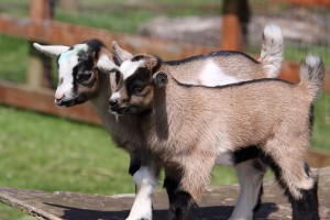 Goats in the Fun Farm