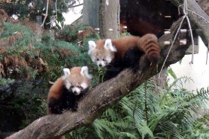 Red Panda Cubs Paradise Park