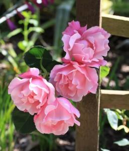 Rose archway