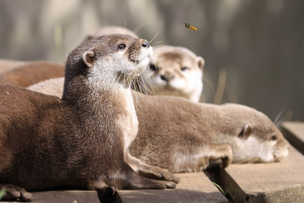 Asian short-clawed otters