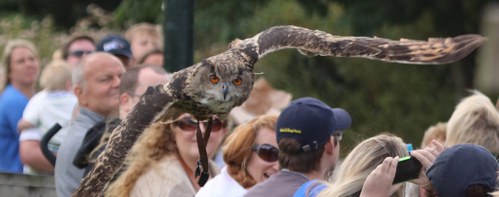 Bruno the Eagle Owl