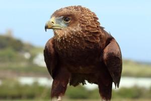 Angelo the Bateleur Eagle
