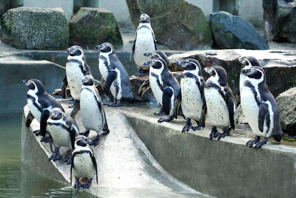 Humboldt's Penguins