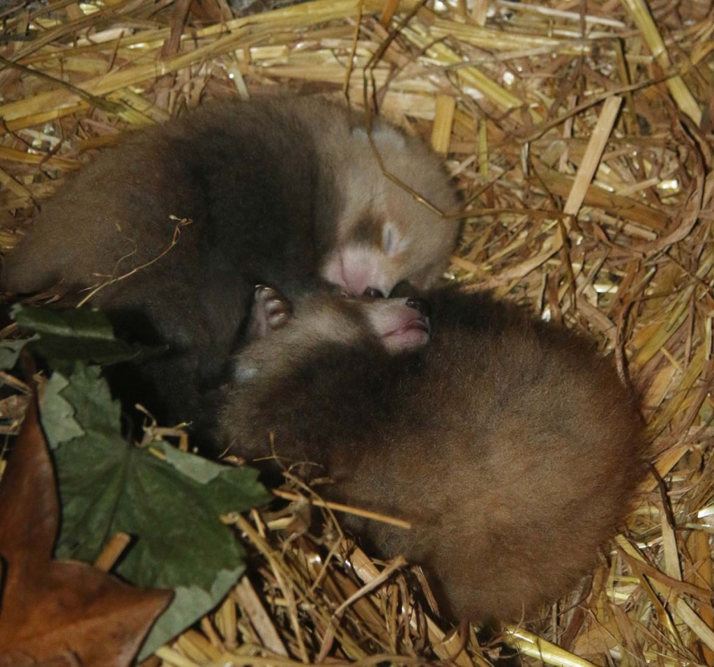Paradise Park Red Panda Cubs 16th July 2015
