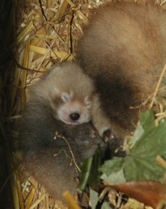 Red Panda Cubs in the Den