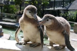 Penguin Chicks
