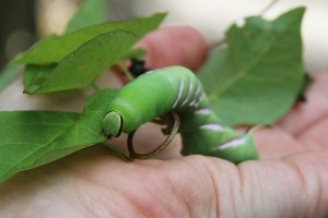 Green hawkmoth caterpillar