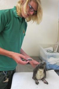 Keeper feeding penguin chick