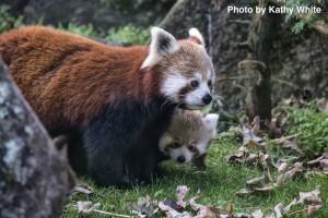 Red Panda cub and mum