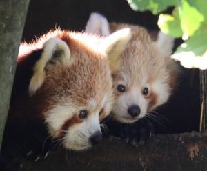 Red Panda mum Jai-Li and cub out all day