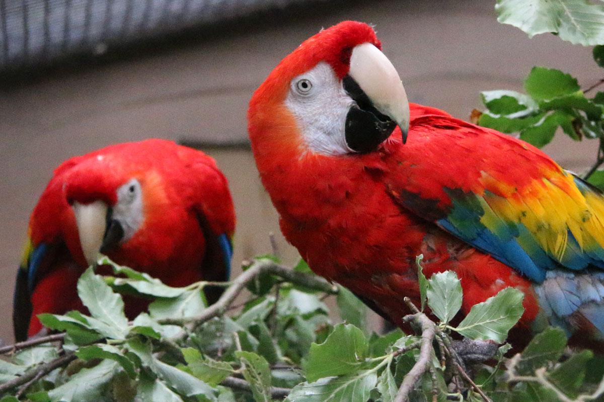 Scarlet Macaws Aloysius and Zorro