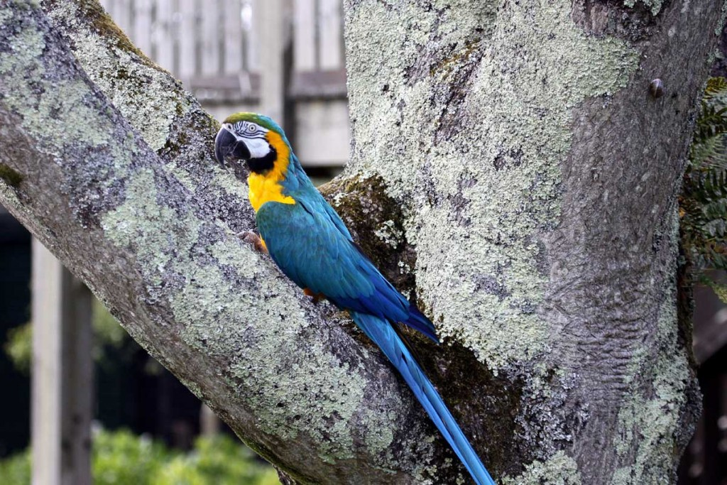 Macaw 'Barney' in the Tree of Heaven