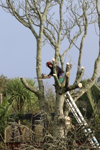 Tree cutting down at Paradise Park