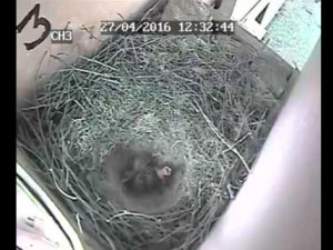 First chough chick 2016