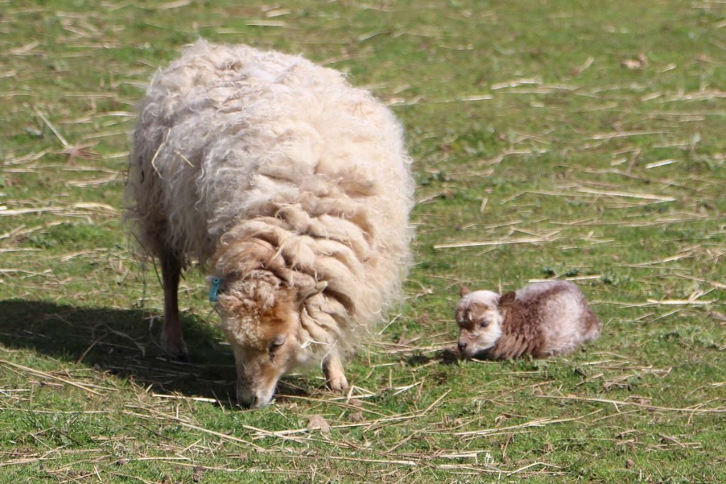 One of the smallest lambs in the world