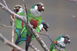 Grey-breasted Conure group