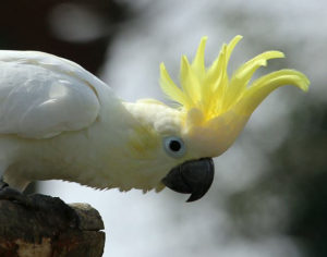 How the Yellow-crested Cockatoo crest will look