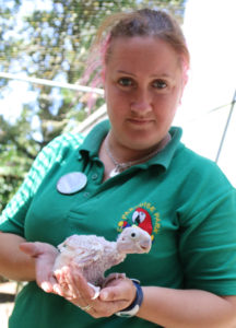 Keeper Leanne with the Yellow-crested Cockatoo chick