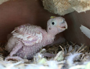 Yellow-Crested Cockatoo chick Inside the nest box