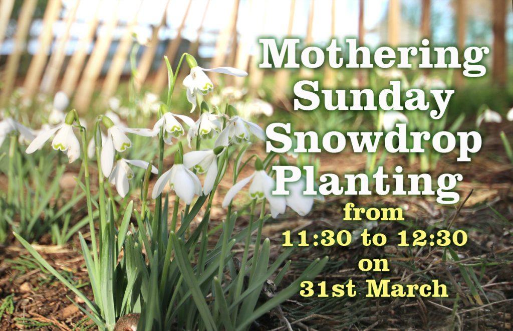 Mothering Sunday Snowdrop Planting
