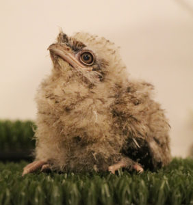 Tawny Frogmouth Chick Paradise Park Cornwall