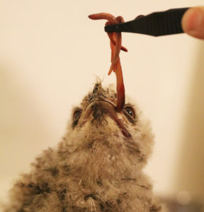 Tawny Frogmouth Chick eating worms