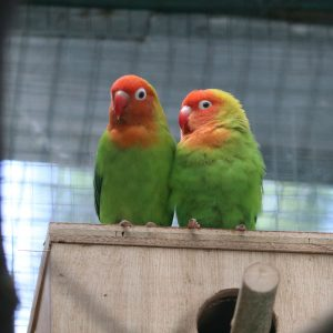 Lilian's Lovebird on nest box