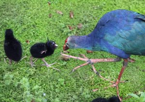 Purple Gallinule chicks