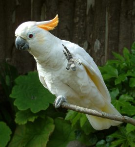 Cedric the Citron-crested Cockatoo waving - Paradise Park Cornwall