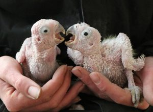Citrons Cockatoo chicks at Paradise Park Cornwall